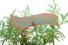 Rosemary bush Stock Images