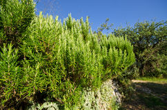 Rosemary bush Royalty Free Stock Image