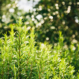 Rosemary bushes. Close up, with bokeh background Royalty Free Stock Images