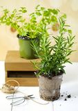 Rosemary and cilantro herb growing in a pot. Fresh Rosemary and cilantro herb growing in a pot stock images