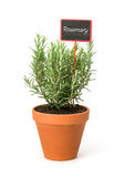 Rosemary in a clay pot with a label Royalty Free Stock Photos