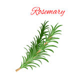 Rosemary culinary herb branches vector icon Stock Photos