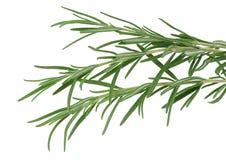 Rosemary da erva isolado no branco Imagem de Stock