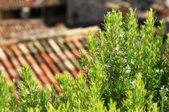 Rosemary de floresc?ncia (officinalis do Rosmarinus) Fotografia de Stock