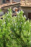 Rosemary de floresc?ncia (officinalis do Rosmarinus) Imagens de Stock Royalty Free