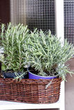 Rosemary decoration. Potted rosemary in wooden basket Stock Image
