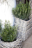Rosemary decoration. Potted rosemary in wooden basket Stock Photography