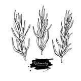 Rosemary  drawing set. Isolated Rosemary plant Stock Photo