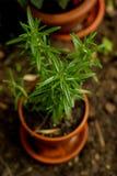 Rosemary in einem Flowerpot lizenzfreie stockbilder