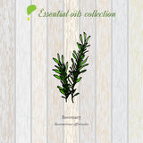 Rosemary, essential oil label, aromatic plant. Stock Photos