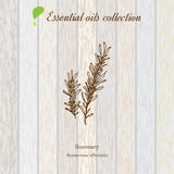 Rosemary, essential oil label, aromatic plant Stock Photos