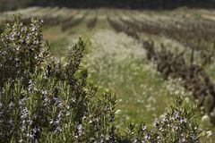 Rosemary et vignes en Provence Images stock