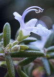 Rosemary flower with stamen, pollen and spider webs. White rosemary flower in profile with pollen, spider webs, and rosemary leaves Stock Photography