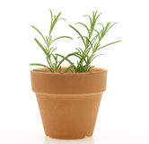 Rosemary in a flowerpot Stock Image