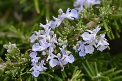 Rosemary Flowers Stock Foto