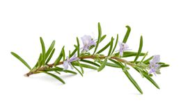 Rosemary flowers Royalty Free Stock Photography