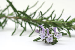 Rosemary flowers Royalty Free Stock Photos