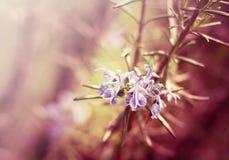 Rosemary flowers Stock Image