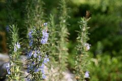 Rosemary with flowers Royalty Free Stock Image