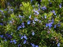 Rosemary, Flowers, Blue, Violet Royalty Free Stock Image