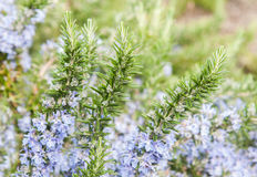 Rosemary in flowers Royalty Free Stock Images