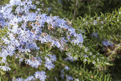 Rosemary in flowers Royalty Free Stock Photography
