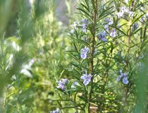 Rosemary flowers Stock Image