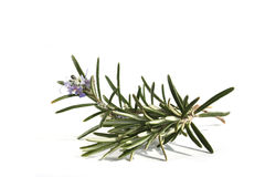 Rosemary with flowers isolated on white Stock Image
