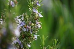 Rosemary Flowers på solnedgång på våren royaltyfria bilder