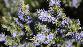 Rosemary flowers. Rosemary plant in flowers blooming in spring season. Rosemary herb with purple an. D blue flowers, close-up. Bushes of rosemary blossom stock footage