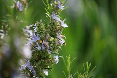 Rosemary Flowers on Sunset on Spring royalty free stock images