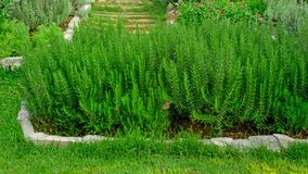 Rosemary fragrant herb is edible woody perennial plant in traditional English cottage backyard planting garden on greenery grass royalty free stock photos