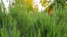 Rosemary fragrant herb is edible woody perennial plant in traditional English cottage backyard planting sensory garden stock photo