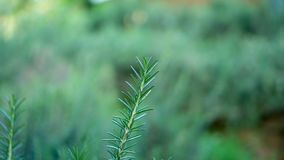 Rosemary fragrant herbal is edible woody perennial plant with greenery needle-like leaves in traditional English cottage backyard stock image