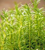 Rosemary, fresh green herb in spring. Closeup Royalty Free Stock Photography