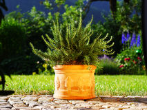 Rosemary in front of lawn and flower bed. Rosemary with terracota pot in front of garden scene Stock Photography