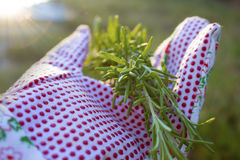 Rosemary in a garden glove Stock Photography