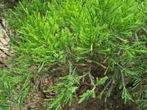 ROSEMARY GARDENING PLANT. PLANT /THE SEEDS CUTTINGS IN WELL DRAINED SOIL .FOR BEST GROWTH ,THE SOIL SHOULD BE AROUND 70 F. BE SURE TO GIVE YOUR PLANTS ENOUGH royalty free stock image