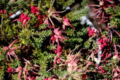 Rosemary Grevillea, Grevillea rosmarinifolia, evergreen ornamental shrub stock image