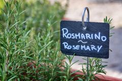 Rosemary growing in a garden, labelled in english and italian Stock Photo