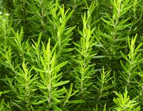 Rosemary growing in the garden. Rosmarinus officinalis herb for background. Selective focus Royalty Free Stock Photography