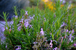 Rosemary. Stock Images