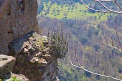 Rosemary growing from stones in a high location Royalty Free Stock Photo