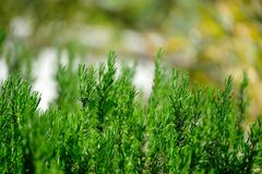 Rosemary growing wild in Portugal Royalty Free Stock Photo