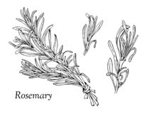 Rosemary hand drawn outline elements vector illustration