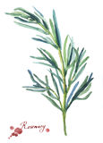 Rosemary. Hand drawn watercolor painting Stock Photo