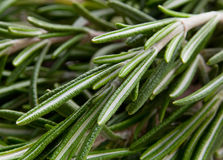 Rosemary herb background Royalty Free Stock Photo
