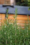 Rosemary Herb Royalty Free Stock Images