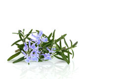 Rosemary Herb in Flower. Rosemary herb leaf in flower over white background royalty free stock photo