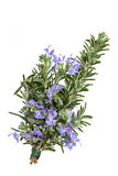 Rosemary Herb Flower. Rosemary herb leaf sprig in flower isolated over white background. Rosmarinus stock image